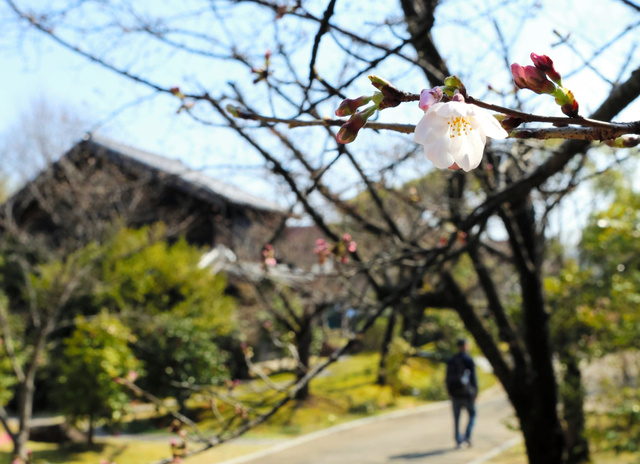 4月上旬には見頃を迎えると思われる桜並木=久留米市