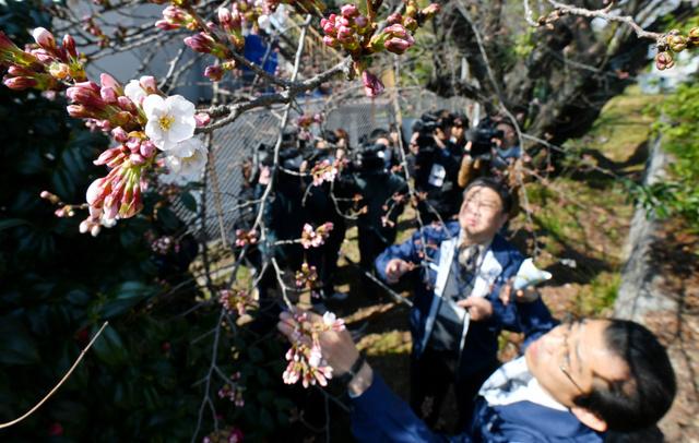 ソメイヨシノの開花を確認する名古屋地方気象台の気象情報官=28日午前10時9分、名古屋市千種区、小川智撮影