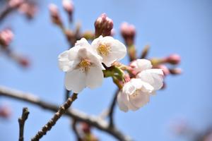 咲き始めたソメイヨシノ=防府天満宮