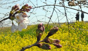 満開の菜の花に囲まれる中、桜も開花した=熊谷市の熊谷桜堤