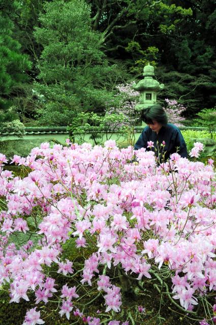 紅紫色の花を咲かせたミツバツツジ=下関市、全日写連谷山昇さん撮影