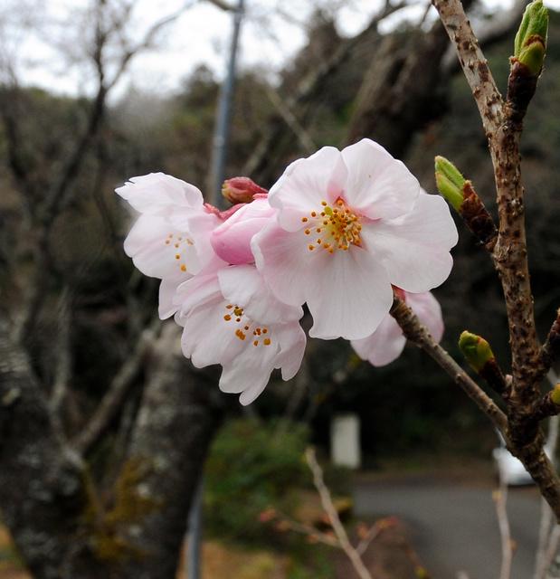 開花した宿毛市独自のソメイヨシノの標本木=宿毛市の荒瀬山中腹