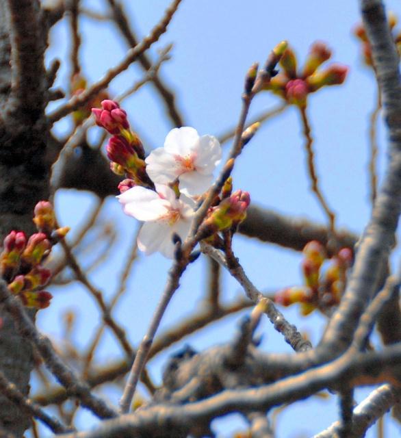 標本木のサクラ=長崎市