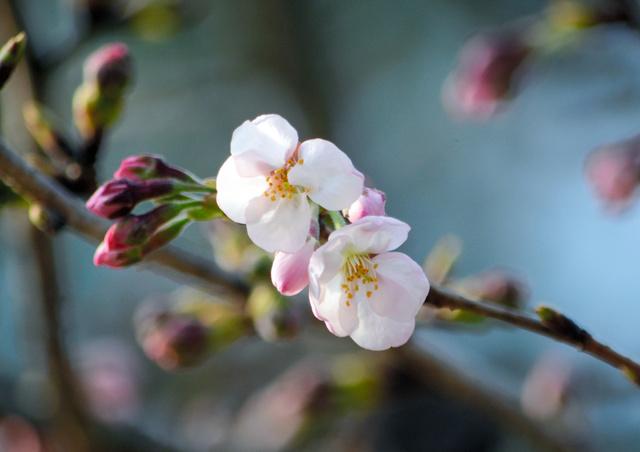 開花したソメイヨシノ=松山市道後公園