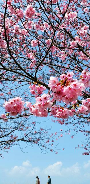 見ごろを迎えた早咲きの陽光桜=砥部町