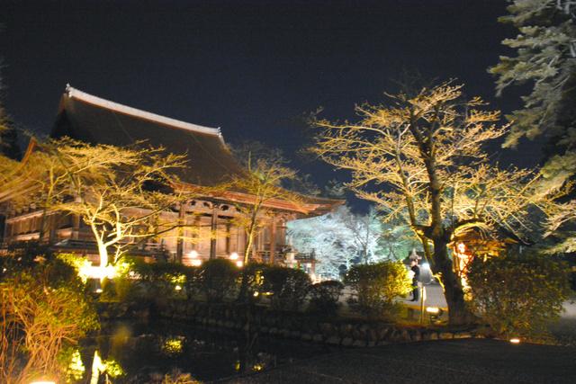 ライトアップされた桜の木と金堂=大津市園城寺町