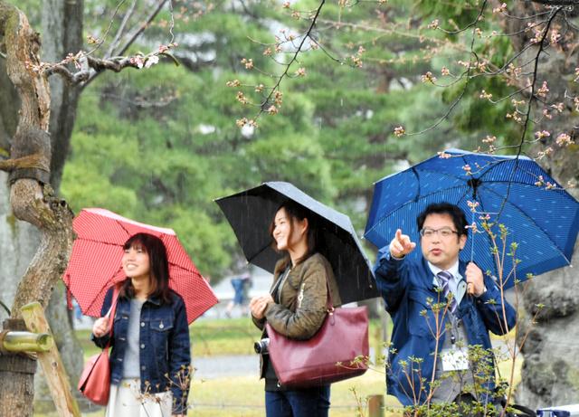 標準木の開花した花を数える京都地方気象台の鳩岡正喜調査官(右)=中京区