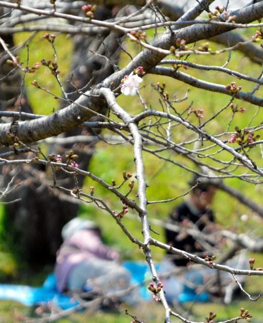熊本地震の被災から間もなく1年となる益城町で1日、「復興桜祭り」が開かれた。この日、熊本市でソメイヨシノの開花宣言があったが、益城町を流れる秋津川沿いの桜並木はまだほとんどがつぼみのまま。それでも住民たちは花咲く日を心待ちにしながら、思いを語り合う「花見」を楽しんだ=1日午後0時39分、益城町の秋津川河川公園、平井良和撮影