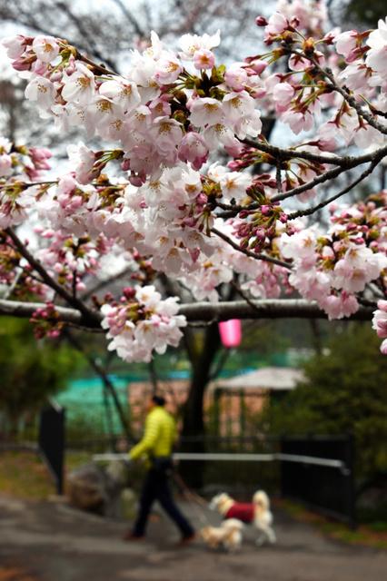 咲き始めた華蔵寺公園のソメイヨシノ=伊勢崎市華蔵寺町