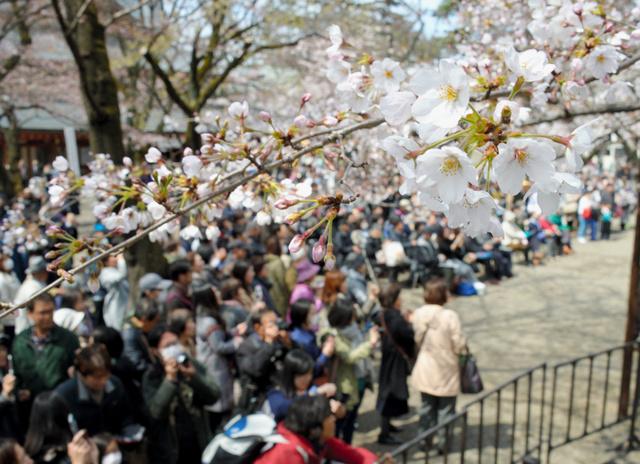 満開と発表された靖国神社の桜の標本木=2日午後、東京・九段、小玉重隆撮影