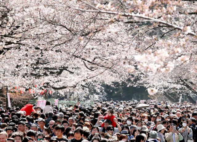 見頃を迎えた桜並木を通り抜ける人たち=2日、東京都台東区の上野公園、西畑志朗撮影