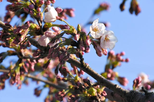 花開き始めた久松公園のソメイヨシノ=鳥取市東町2丁目
