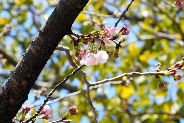 開花したソメイヨシノ=神戸市灘区王子町