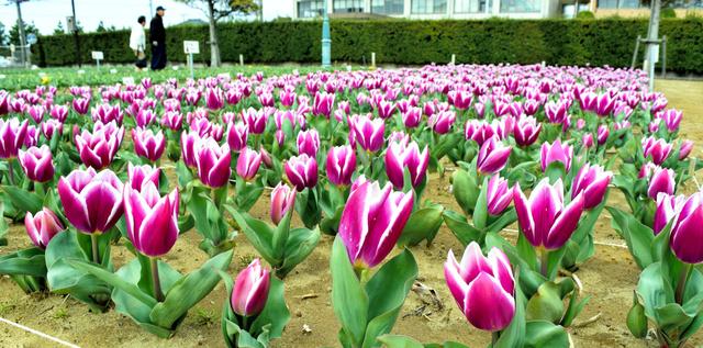 咲き始めたチューリップ。見ごろには11種類6万本が咲き誇るという=匝瑳市今泉