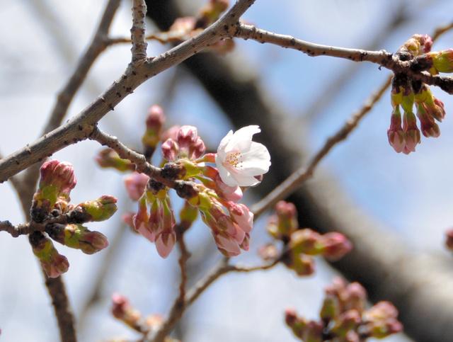 開花した標本木の桜=水戸市三の丸1丁目
