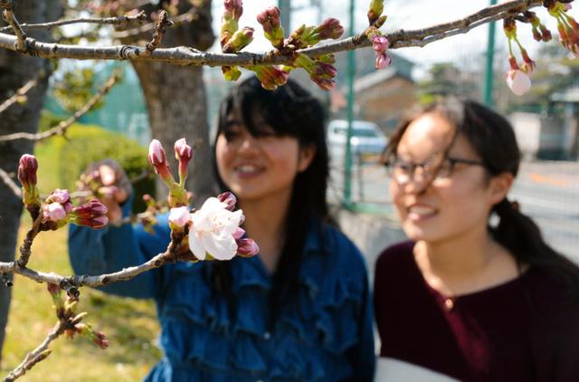開花したソメイヨシノの標本木=奈良市東紀寺町の奈良女子大付属中等教育学校