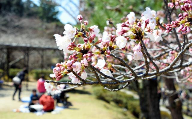 桜が開花し、花見を楽しむ親子連れの姿も見られた=3日午前11時31分、津市広明町、三浦惇平撮影