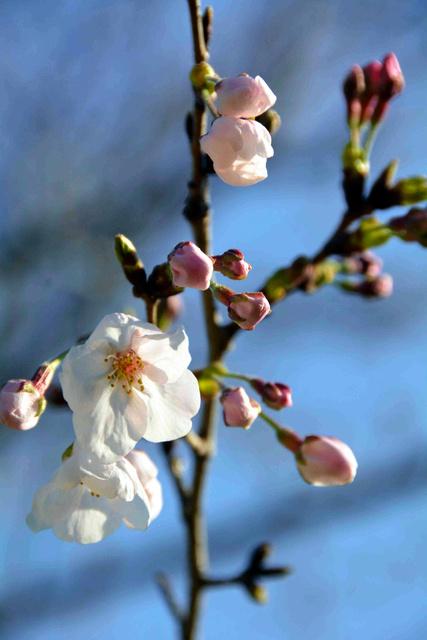 桜の標本木に咲いた花=徳島市大和町2丁目の徳島地方気象台