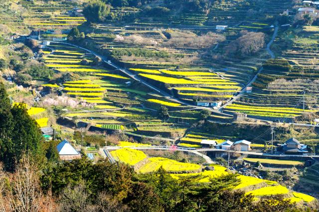 棚田に菜の花の黄色が映える=神山町上分江田