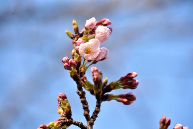 花開いたソメイヨシノの標本木=金沢市西念3丁目