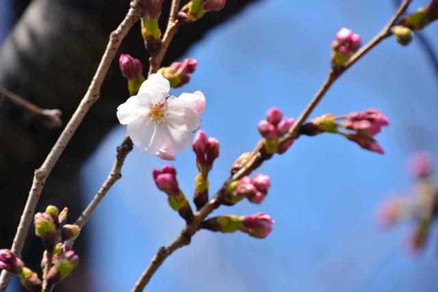 開花が宣言された大分地方気象台の標本木の桜(ソメイヨシノ)=大分市長浜町3丁目