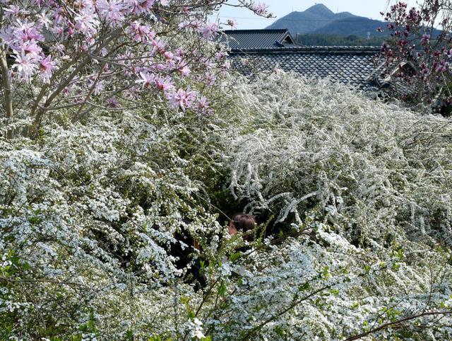 見頃を迎えたユキヤナギ、左上のピンク色の花はヒメコブシ=加古川市志方町広尾