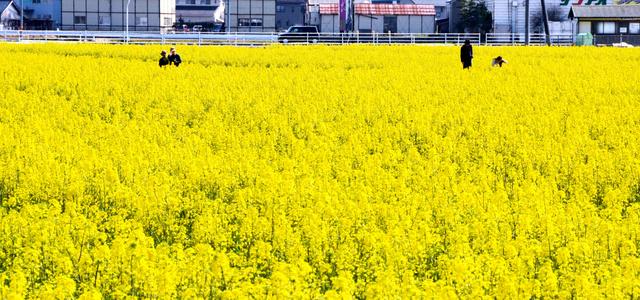 一面に咲く菜の花=出雲市斐川町富村