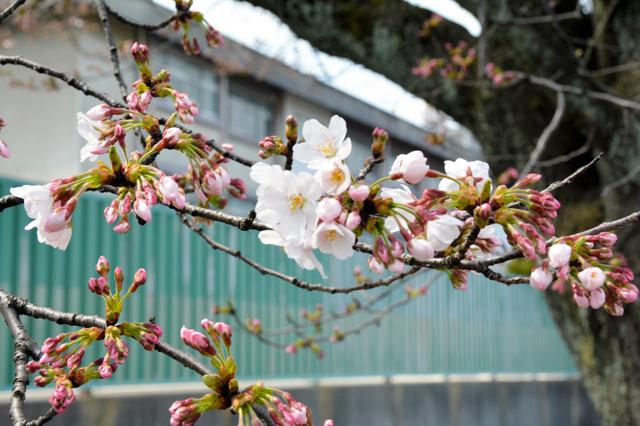 つぼみにまじって、花を咲かせた桜=福井市大手3丁目