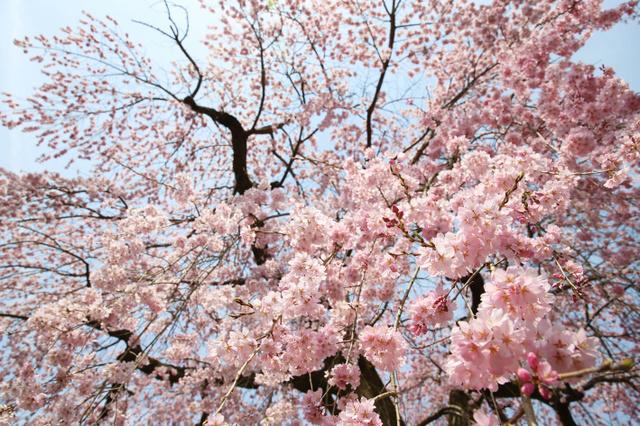 霊宝館の桜。ほぼ満開で、下から見上げると降ってきそうな勢いだ=5日、京都市伏見区の醍醐寺、佐藤慈子撮影