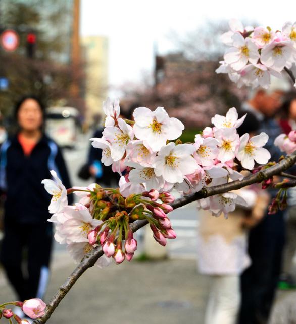 開花を迎えた松川沿いの桜=富山市新総曲輪