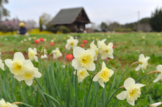 チューリップの花はまばらだが、スイセンも楽しめる=行橋市
