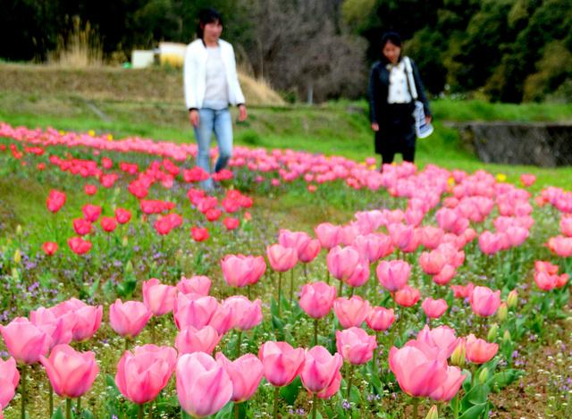 見ごろを迎えようとしている「岡原花公園」のチューリップ=大分市横尾