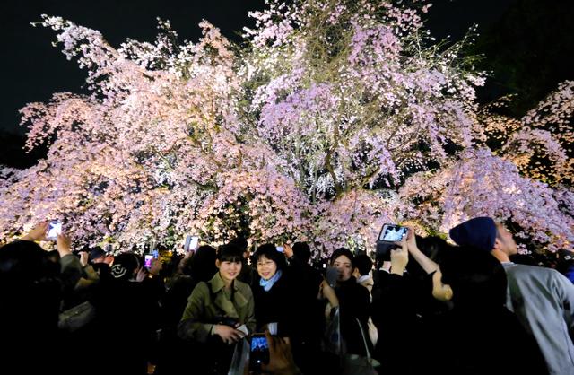 ライトアップされたしだれ桜の前で写真を撮る人たち=5日午後7時23分、東京都文京区、竹花徹朗撮影