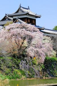 郡山城跡公園は「日本さくら名所100選」にも選ばれている=大和郡山市