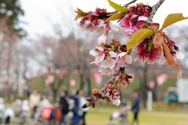 咲き始めた桜=高田公園
