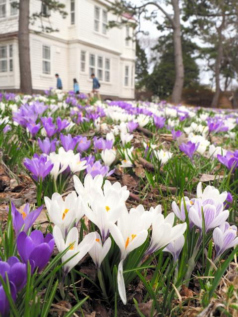 旧宣教師館の庭に咲くクロッカス=函館市の遺愛学院