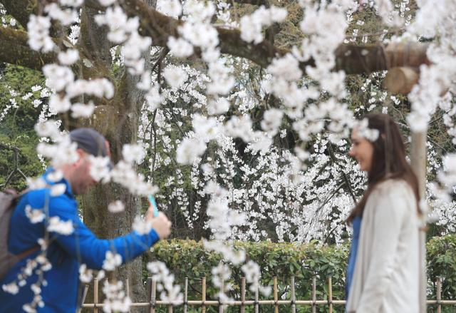 大きな傘のようなシダレザクラ。満開となった枝の中で記念写真を撮る人も=6日、京都市上京区の京都御苑、佐藤慈子撮影