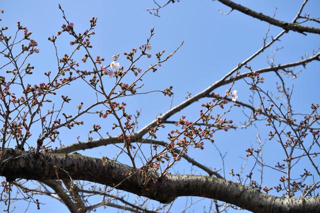 津波を乗り越え、今年も開花したソメイヨシノ=いわき市小名浜の旧小名浜測候所