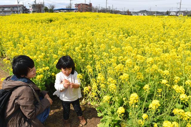 黄色のじゅうたんのような菜の花畑。9日を最後に畑にすき込み、ヒマワリの肥料となる