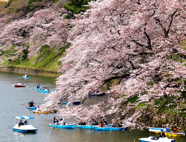 千鳥ケ淵で、ボートから花見を楽しむ人たち=5日、東京都千代田区、西畑志朗撮影