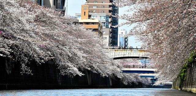 見頃を迎えた目黒川両岸に咲く桜=6日午前11時25分、東京都目黒区、恵原弘太郎撮影