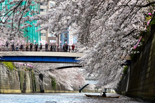 見頃を迎えた目黒川両岸に咲く桜=6日午後0時27分、東京都目黒区、恵原弘太郎撮影