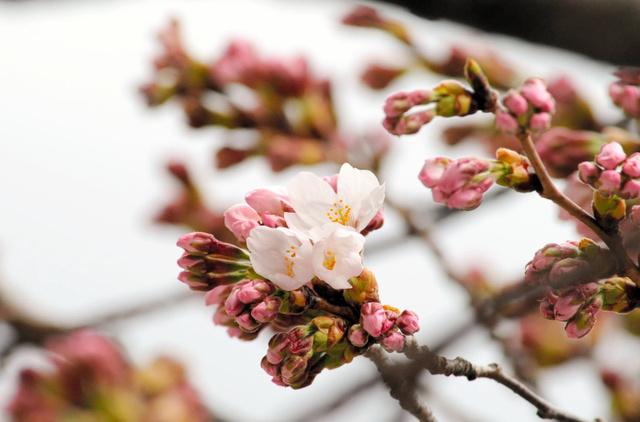 花を咲かせたソメイヨシノの標本木=大船渡市盛町