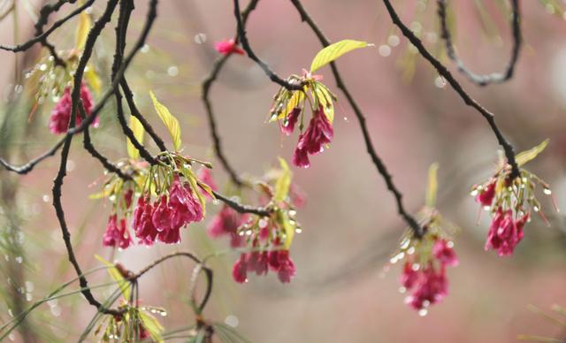 雨粒がしたたる桜のつぼみ=7日、京都市左京区の平安神宮、佐藤慈子撮影
