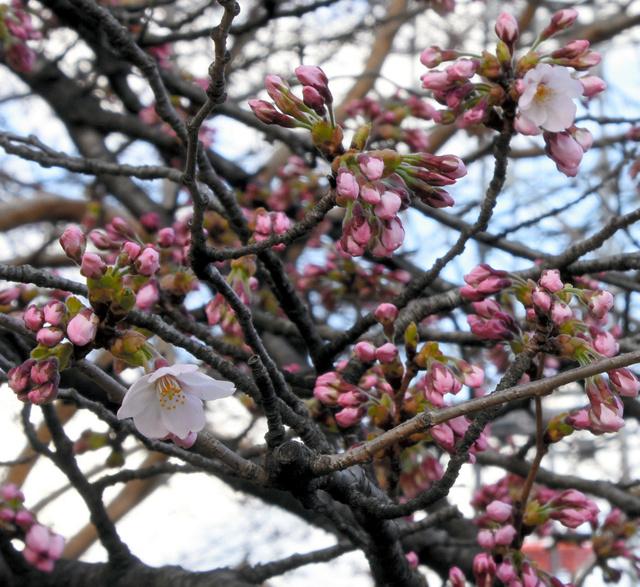 開花した標本木のソメイヨシノ=仙台市宮城野区