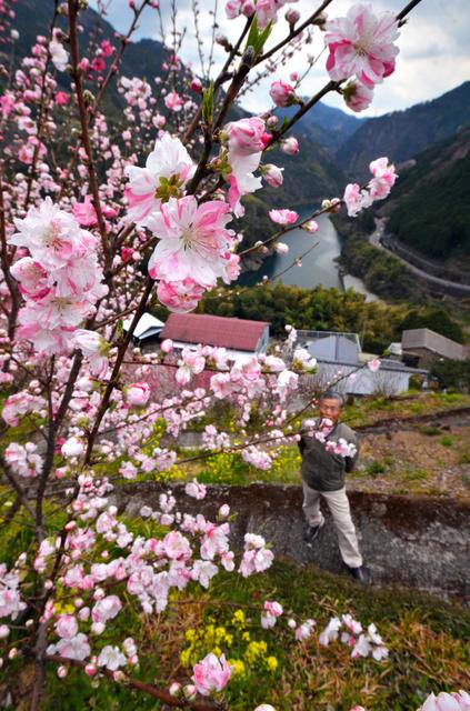 ピンクと白が混じったハナモモを見上げる地元住民=仁淀川町寺村
