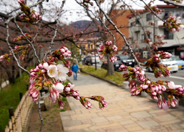 暖かさに誘われ、開花したソメイヨシノ=上田市
