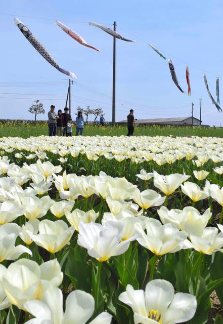 チューリップの花を楽しむ人たち=出雲市斐川町今在家