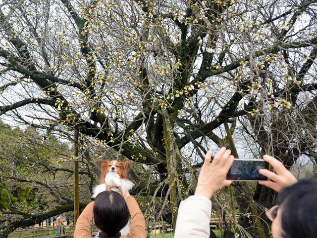 開花した一心行の大桜の写真を撮る観光客=南阿蘇村中松