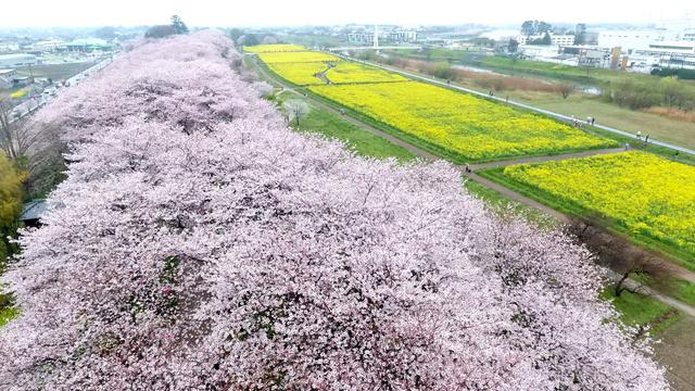 満開となったソメイヨシノの桜並木と菜の花畑=8日午前、埼玉県幸手市、県営権現堂公園の許可を得てドローンから、長島一浩撮影